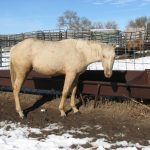 AQHA#: 5459370 Color: Palomino Foaled: May 14, 2012