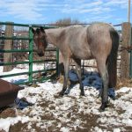 AQHA# 5472833 Color: Red Roan Foaled: April 24, 2012